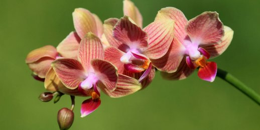 Order of orchid flower arrangements delivery to Riga and other cities of Latvia