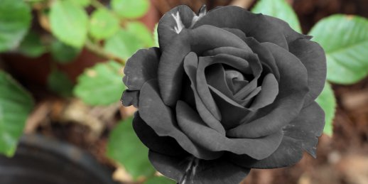 A bouquet of black roses with delivery to any address of Riga and all over Latvia