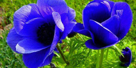 Buy a bouquet of blue flowers inexpensively. Delivery of a blue bouquet of flowers for a holiday.