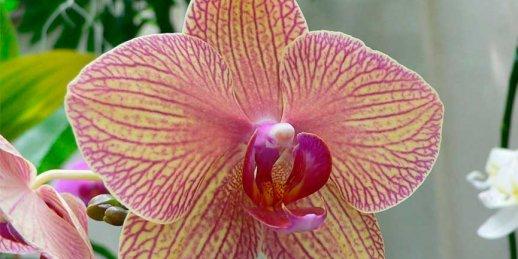 Kā rūpēties par orhidejām un kur tās pasūtīt Rīgā ar piegādi mājās
