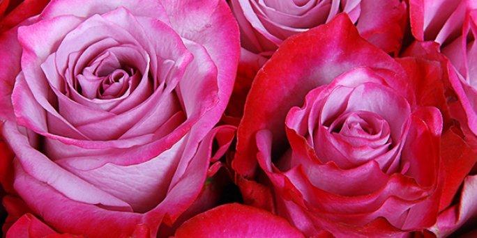 Cik maksā rozes interneta veikalos Rīgā un citās Latvijas pilsētās