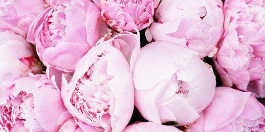 Rozā peonijas kur pirkt. Kur es varu iegādāties rozā peonijas internetā Rīgā