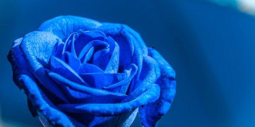 Viena zilā roze ar piegādi Rīgā un citās Latvijas pilsētās