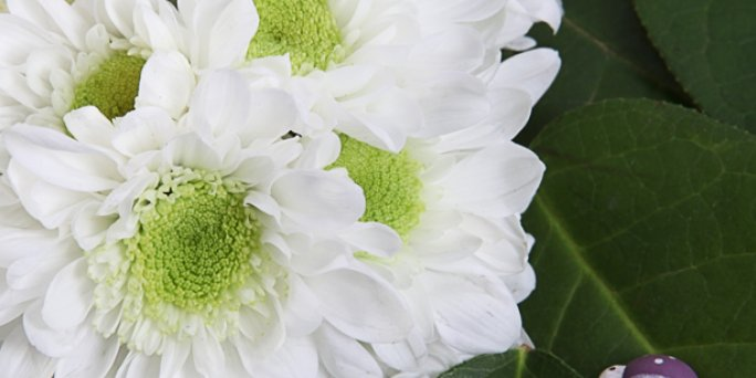 Купить цветы в Риге: гортензия метельчатая .
