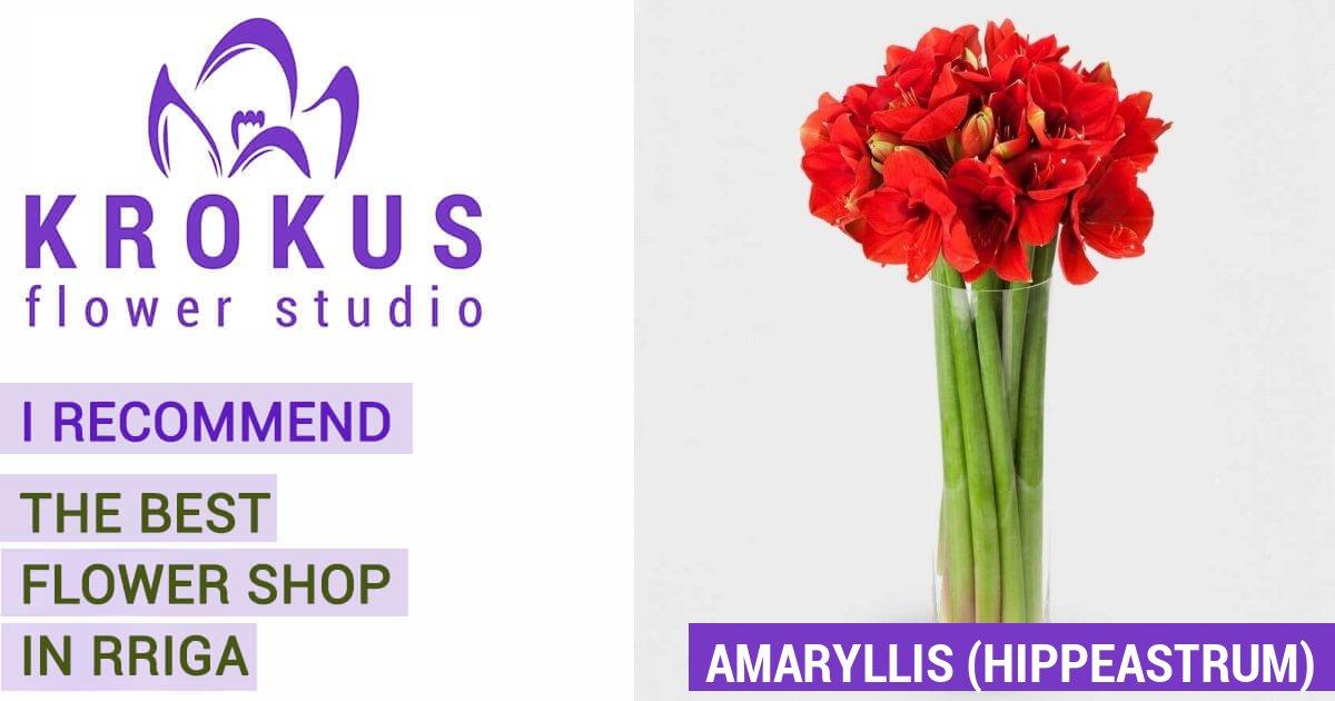 Amaryllis hippeastrum is a bouquet of fresh cut flowers for Amaryllis en bouquet