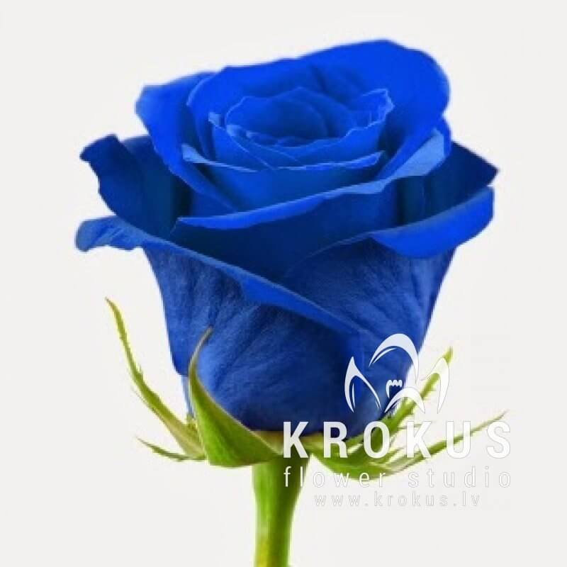 Single Blue Rose Delivery To The Address In Riga And Other Cities Of